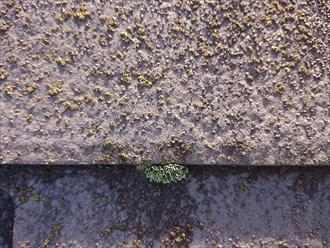 スレート屋根の重なる小口と呼ばれる箇所にも同様に苔が生えてしまっています