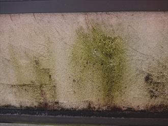 バルコニー防水の立ち上がりのすぐ真上には苔が多くの箇所に目立つほど繁殖していました